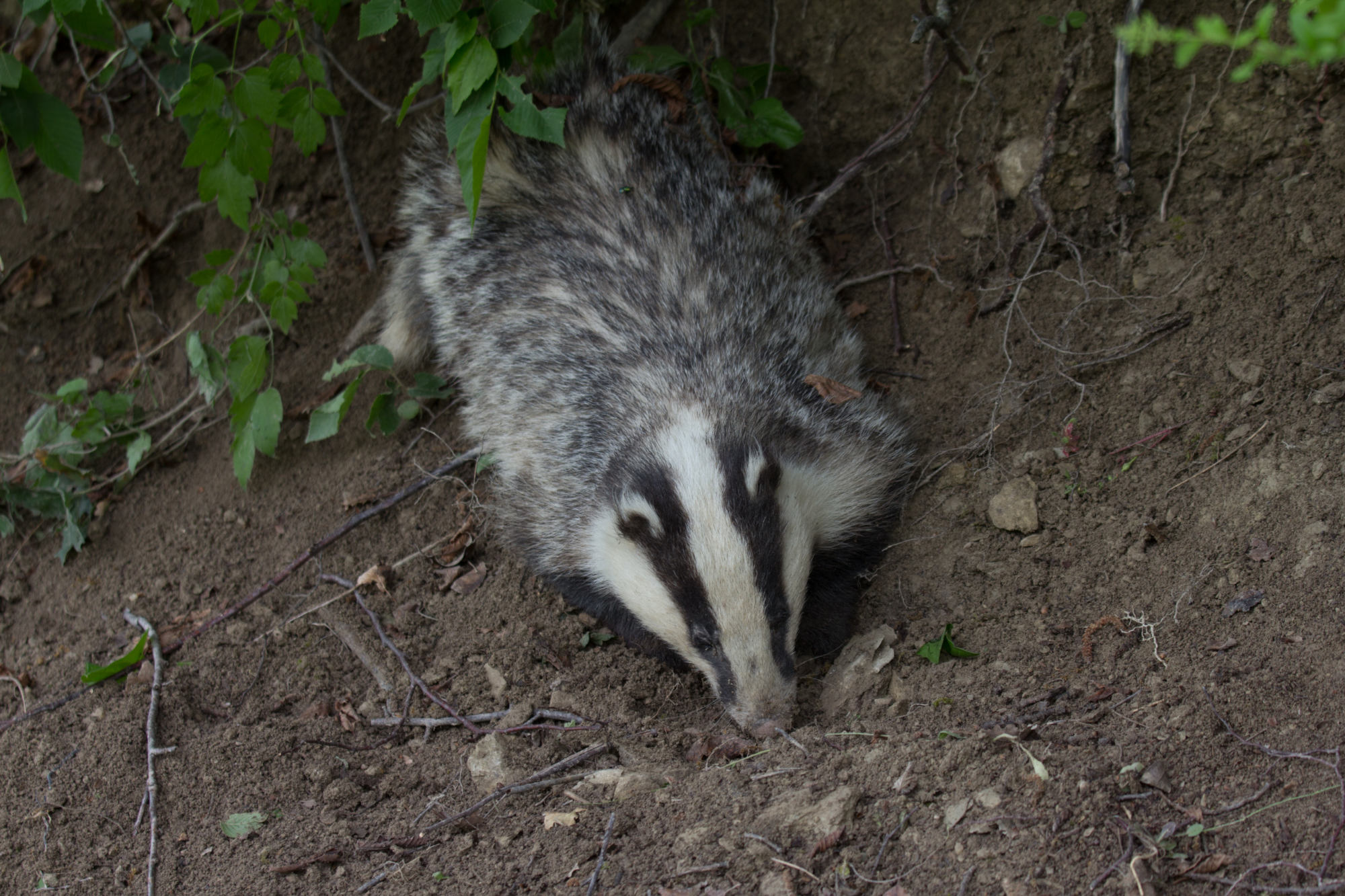 a badger at palomba