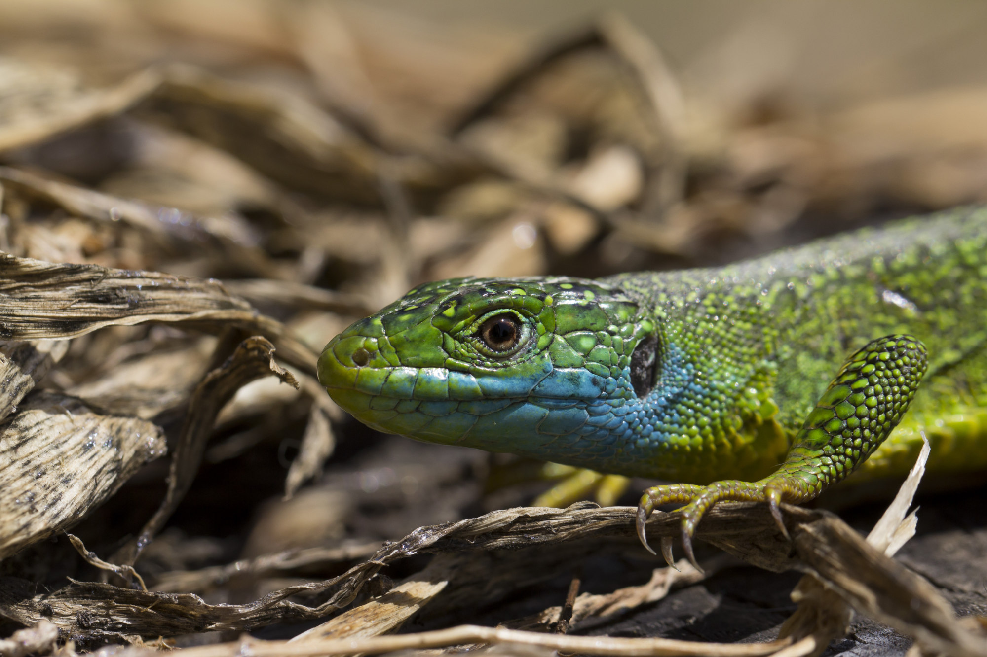 a european green lizard at palomba