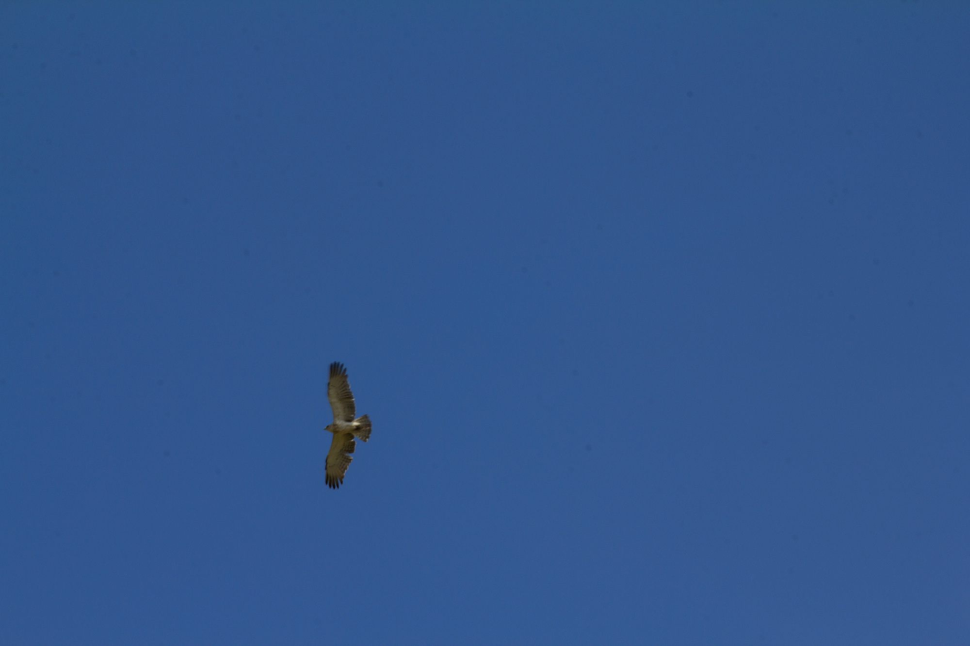 biancone or short tailed snake eagle near macereto