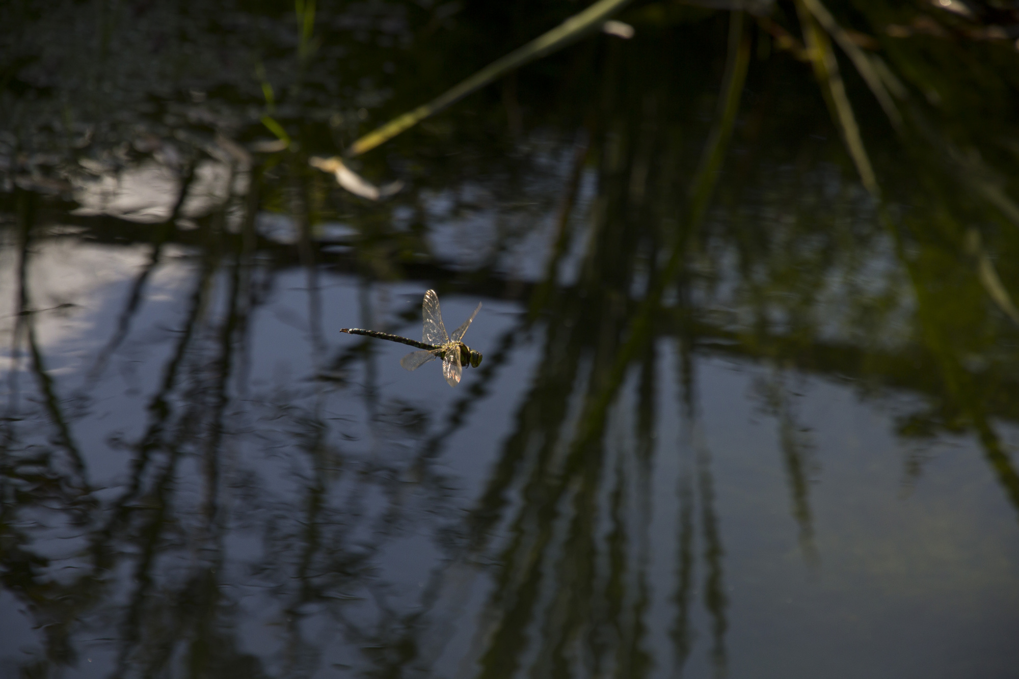 dragonfly over pond at palomba