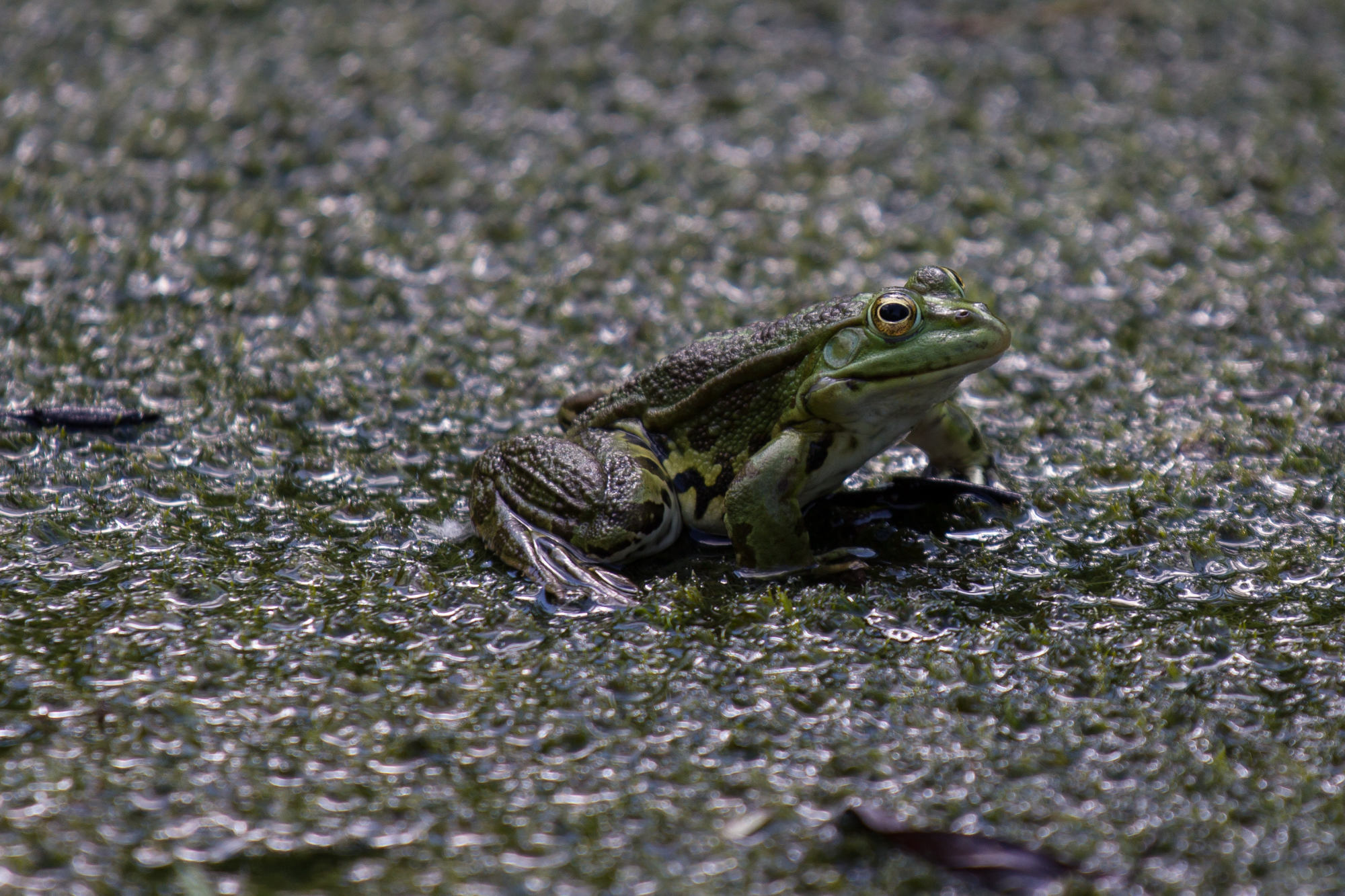frog in the pond by palomba