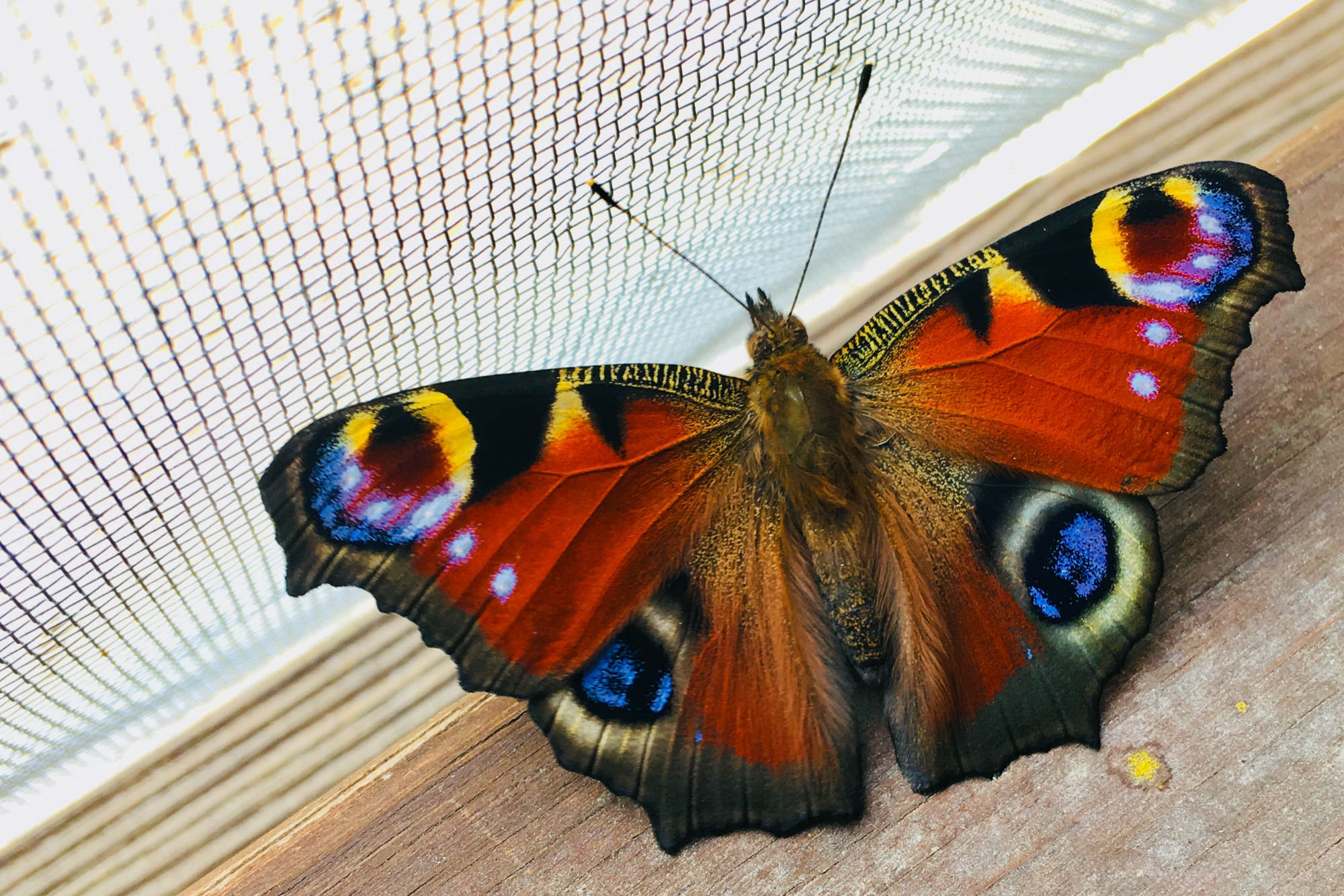 peacock butterfly on the window sill