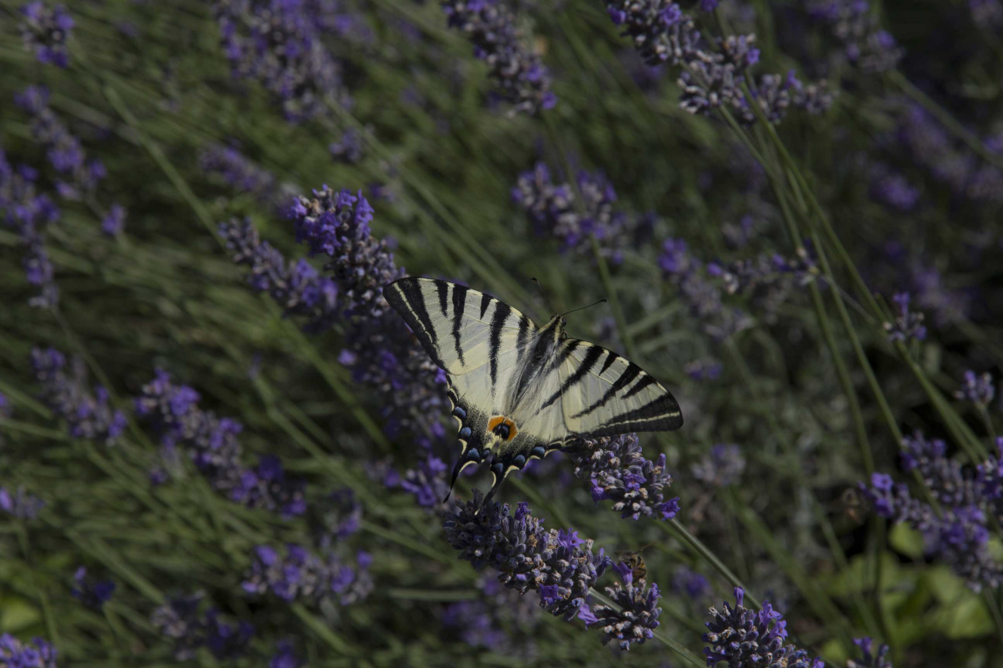 scarce swallowtail butterfly in palomba garden